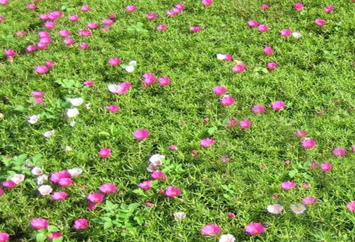 Thi công trồng cỏ sân vườn