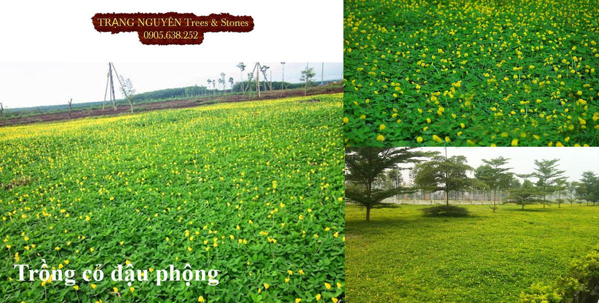 Trồng cỏ đậu cho sân vườn