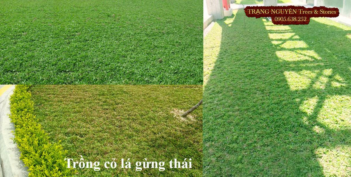 Trồng cỏ lá gừng thái cho sân vườn