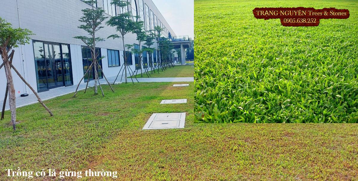 Trồng cỏ lá gừng thường cho sân vườn
