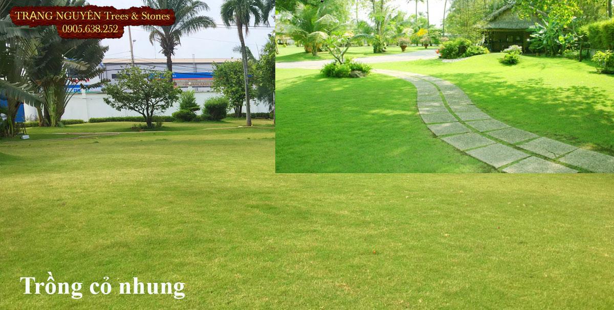 Trồng cỏ nhung sân vườn