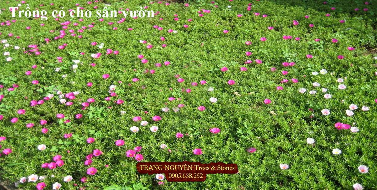 Trồng hoa mười giờ cho sân vườn